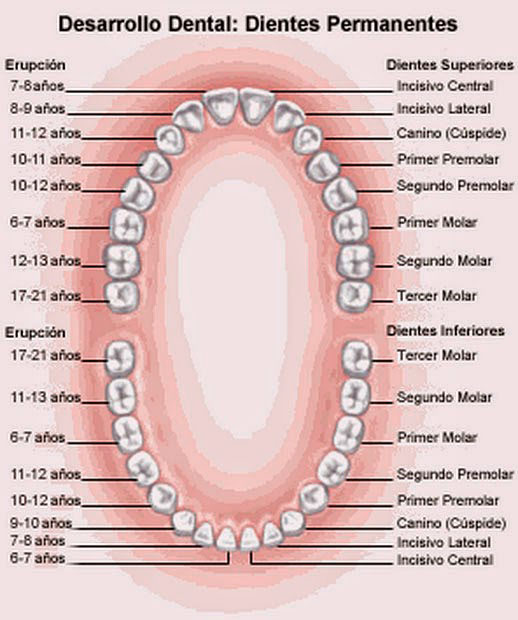 erupcion dientes permanentes